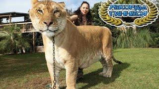 Самая Большая Хищная Кошка в Мире, Рекорды Гиннеса