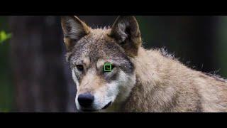 Sony Alpha | Eye Autofocus for Animals, Portraits