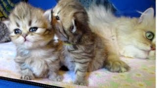 12 06 17 Persian kitttens-cute things come in little packages