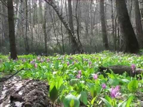 Цветок кандык – посадка и уход: пересадка, почва