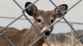 Cute White-tailed Deer Released Back Into Wild - Hope for Wildlife: The Webisodes