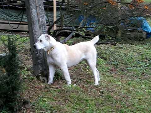 Central Asian Shepherd Dog -  Inherent instinct ( protection )
