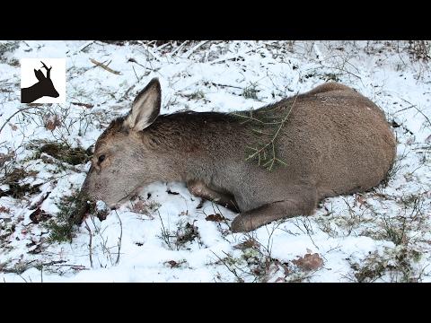 Woodland red deer hunting - Polowanie na jelenie 2017 - Hirschjagd - Chasse aux Cerfs