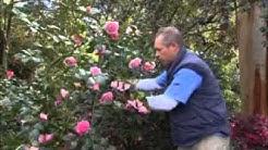 The Garden Gurus - Growing Camellias