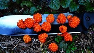 Salmon Berry; Rubus, Rosaceae. | Teds Outdoors H.S.