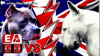 PITBULL VS BULL TERRIER  ( Pelea Hipotética ) - ¿ Quien gana ?