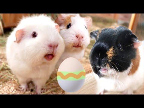 Guinea Pig Easter Egg Hunt