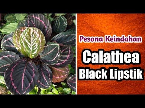 calathea-black-lipstik-dan-cara-merawatnya