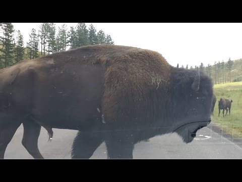 Custer State Park Surrounded by Buffalo