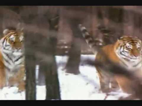 Siberian Tiger Vs African Lion. Siberian Tiger Is Two Times Bigger Than African Lion.