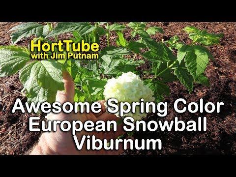 European Snowball Viburnum Puts On A Big Show - Common Snowballs