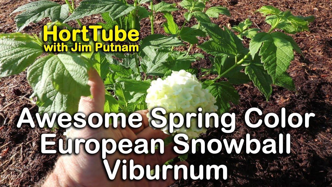 parazitákbol szarmazo viburnum)