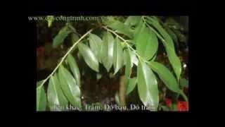 Cây Trầm Hương