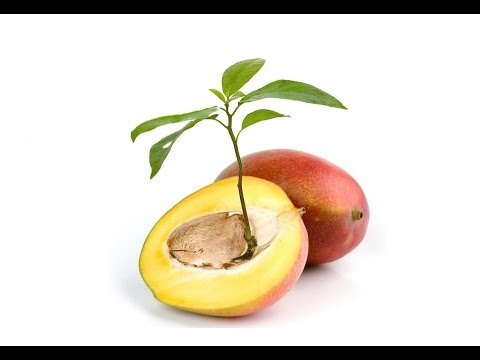 ♡ How To Grow MANGO TREE From SEED!!!