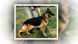 German Shepherd American Blood Lines- History