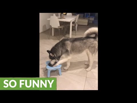 Crazy husky makes gigantic mess drinking water