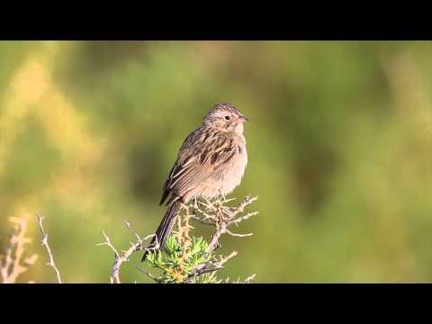 Brewer's Sparrow singing on territory in western Colorado in June