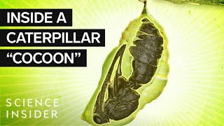 Whats Inside A Caterpillar 'Cocoon'