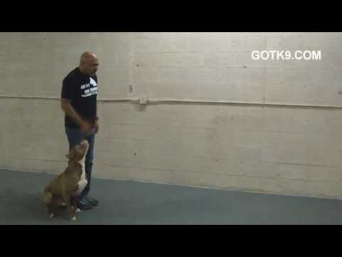 Las Vegas Pitbull Dog Training, Got K9 Dog Training Las Vegas