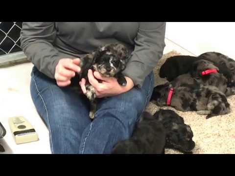 Gabby's standard schnoodle puppies 24 days old