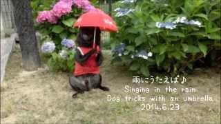 雨に唄えば♪dog Tricks With An Umbrella★黒パグ犬チョコchoco The Black Pug