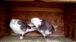 Pigeon laying egg:)