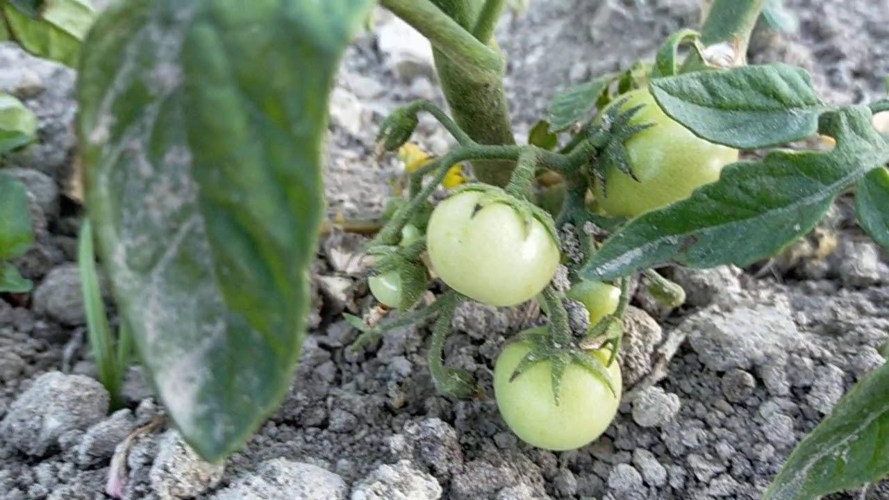 Organik yetiştiriyorum sebzelerimi