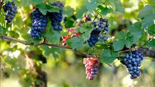 Картинка фрукты. Виноград, лоза, ветки | Picture fruit. Grapes, vine, branches