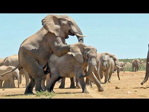 Sexe : Comment Fait L'éléphant ? - ZAPPING SAUVAGE