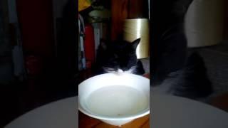 сытый черно-белый кот лениво лакает домашнее молоко. снимает камера Lenovo