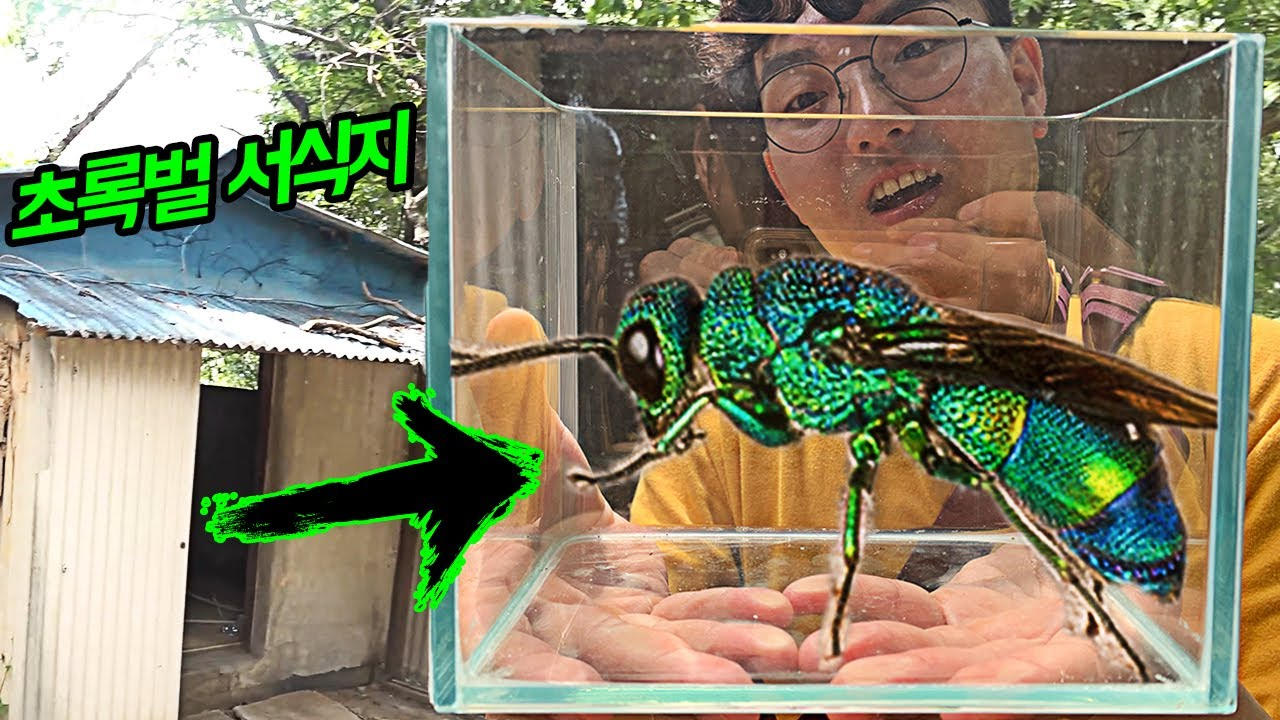 초록색 장수말벌? 광택나는 '희귀 벌'을 생포하였습니다!