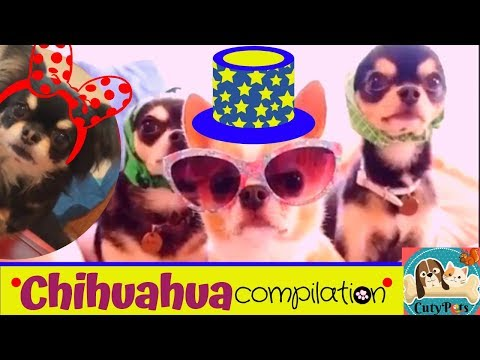 Chihuahua dogs Compilation - World's Smallest Breed