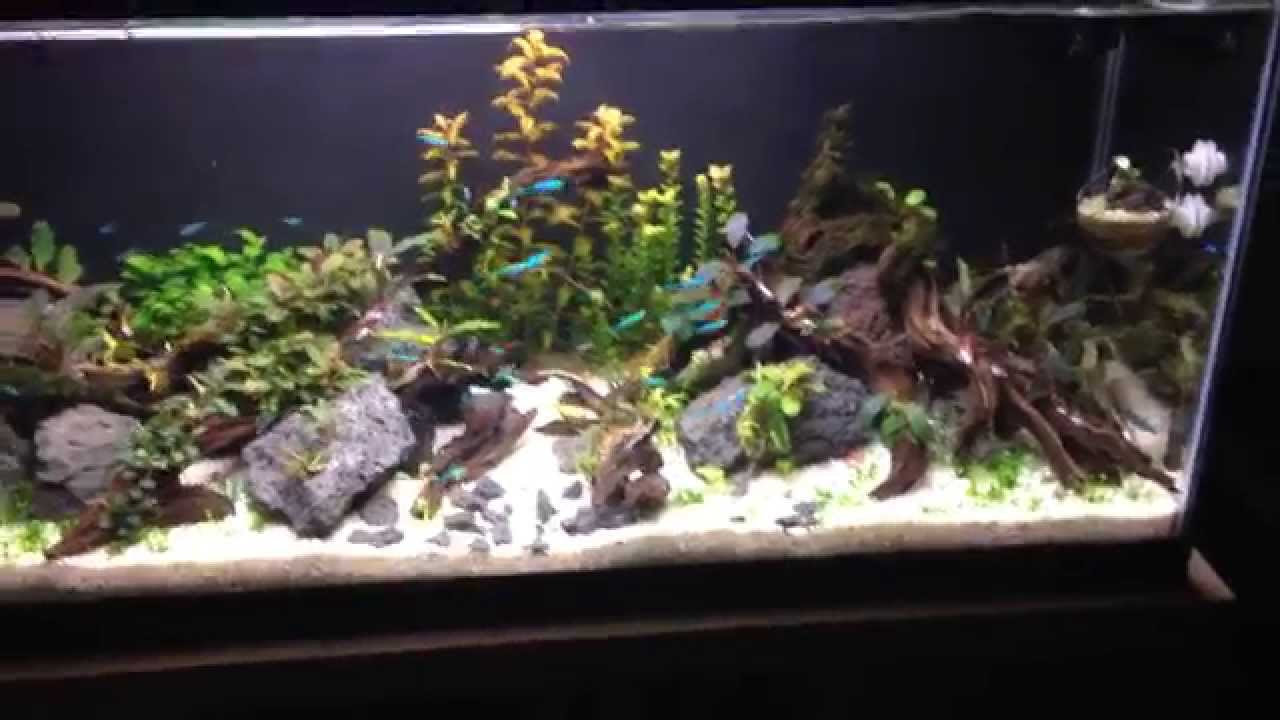 30 gallon bucephalandra green neon tetra tank youtube for Neon fish tank
