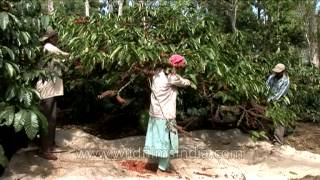 Coffee plantation in South Asia - high value crop in Karnataka