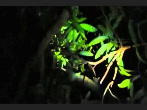 Ekspedisi Kalong (Paniki)
