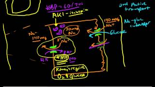 Renal Physiology Reabsorption And Excretion