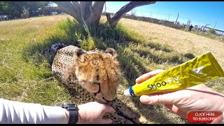 Human Enrichment & Taming Wild Captive Animals - Giving Medical Attention To A Handicap Cheetah Cat
