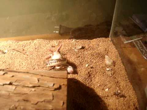Kenyan Sand Boa hunting mouse