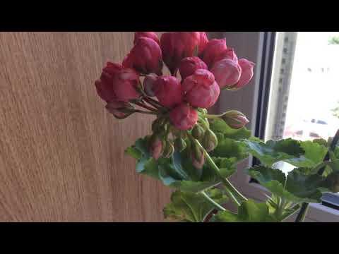 Тюльпановидная пеларгония Patricia Andrea и Lilian Andrea