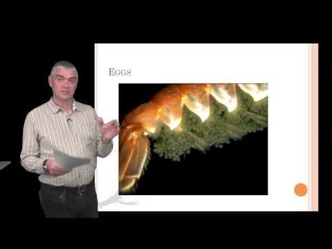 Introduction to Nephrops norvegicus