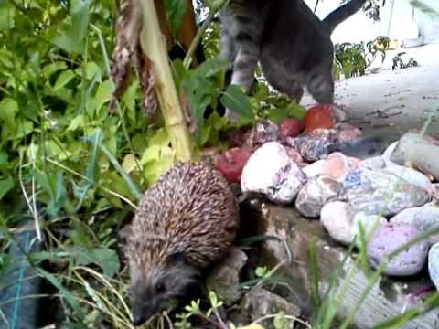 Two cats meet a hedgehog.