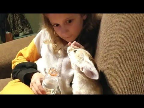 A Fennec Fox and a Gatorade