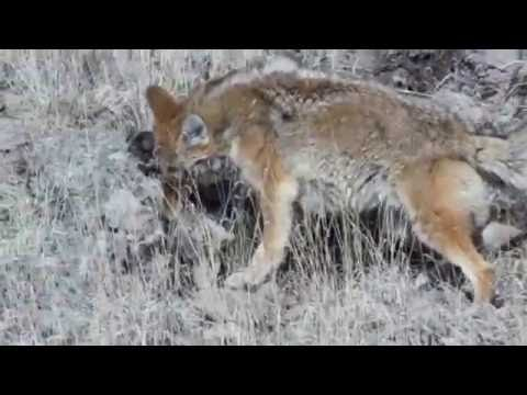 Coyote Fights Mountain Lion