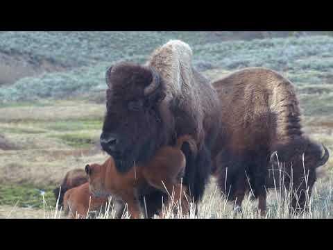Grand Teton and Yellowstone, 2018