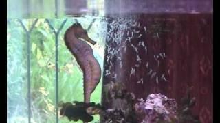Seahorse gives birth, Seahorse having babies, giving birth,Sid