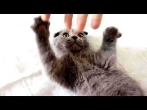 Cute Kitten of Scottish Fold Breed