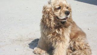 Порода Собак №5 - Американский кокер спаниель