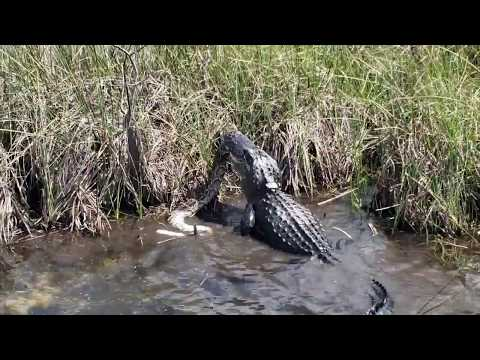 Manny's - Gator gets better of Python during Battle In the Everglades
