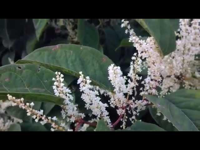 Honey bees love bamboo