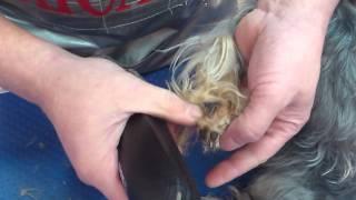 Фрагмент стрижки собак. Обработка лап.  Trimming the Paws
